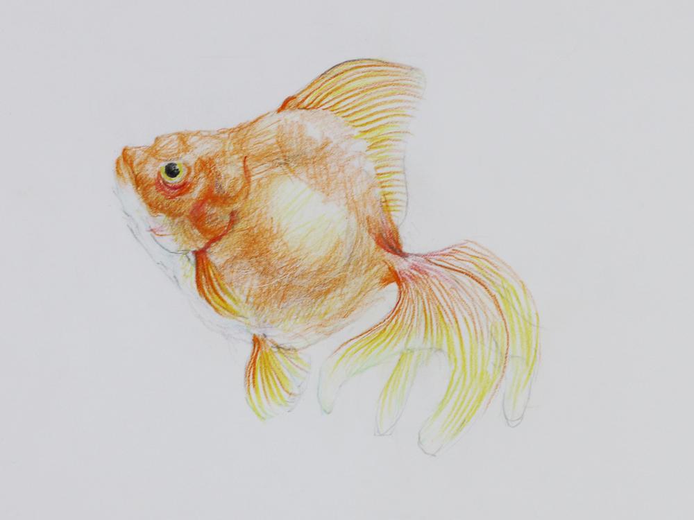 キンギョの描き方色鉛筆 色鉛筆 Artlessons アートレッスン